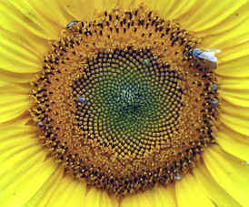 Sunflower showing Fibonacci spirals